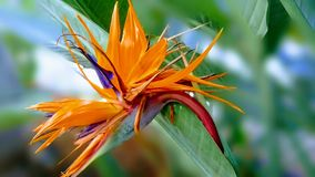 Natura Z piękno kołtuniasta trawa w pomarańcze Zdjęcie Royalty Free