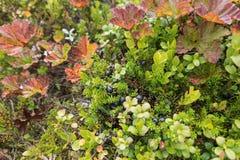 Natura zamknięta up w lasowej czarnej jagodzie Zdjęcie Stock