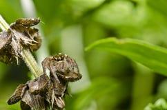 natura zielony skokowy pająk Zdjęcia Royalty Free