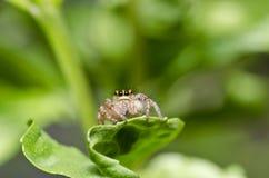 natura zielony skokowy pająk Fotografia Royalty Free