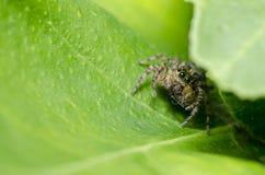 natura zielony skokowy pająk Zdjęcia Stock