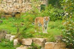 natura zielony tygrys Obrazy Stock