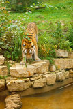 natura zielony tygrys Obraz Stock