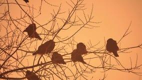 Natura zmierzchu wron kierdel ptaki siedzi na drzewnej zimnej zimie Fotografia Stock