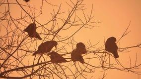 Natura zmierzchu wron kierdel ptaki siedzi na drzewnej zimnej zimie Zdjęcia Stock