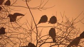 Natura zmierzchu wron kierdel ptaki siedzi na drzewnym zimy zimnie Zdjęcie Royalty Free