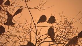 Natura zmierzchu wron kierdel ptaki siedzi na drzewnym zimy zimnie Fotografia Stock
