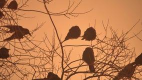 Natura zmierzchu wron kierdel ptaki siedzi na drzewnym zimy zimnie Zdjęcia Stock