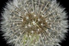 Naturabstrakt begrepp - maskros Starburst Arkivfoto