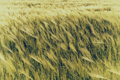Natural abstract eco background with green fresh wheat in the wind Stock Images