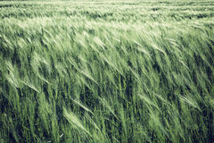 Natural abstract eco background with green fresh wheat in the wind Stock Image
