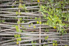 Natural Abstract of Woven Branch Decorative Thatch Work Fence Stock Image