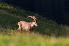 Natural adult male alpine capra ibex capricorn in evening light. Natural adult male alpine capra ibex capricorn in evening sunlight meadow royalty free stock image