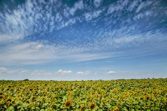 natural agriculture background sunflowers field and cloudy sky stock image