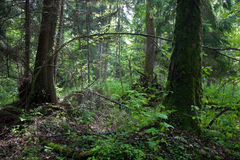 Natural alder stand of Bialowieza Forest Landscape reserve Royalty Free Stock Images