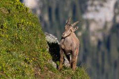 Natural alpine capra ibex capricorn standing in steep mountain m. Eadow in sunlight royalty free stock photos
