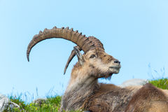 Natural alpine ibex sitting in meadow. With blue sky stock image