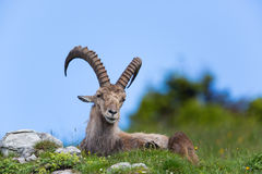 Natural alpine ibex sitting in meadow. With blue sky stock photo