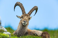 Natural alpine ibex sitting in meadow. Natural alpine ibex sitting in green meadow with blue sky in background royalty free stock photography