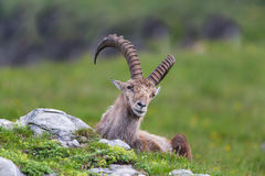 Natural alpine ibex sitting in meadow. With stones royalty free stock images