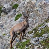 Natural alpine ibex standing in mountain rocks. And grassland royalty free stock image
