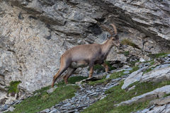 Natural alpine ibex standing in mountain rocks. And grassland royalty free stock photos