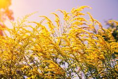Natural ambrosia flower against the sky stock image