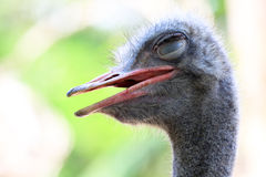 Natural animal life ostrich. Zoo natural animal life ostrich Royalty Free Stock Images