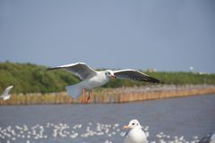 One seagull flying over another one at the sea coast royalty free stock photo