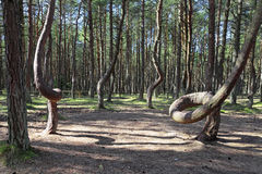 Natural anomaly. Russia, Kaliningrad region, the Curonian spit, bent trees in natural anomaly Dancing forest Royalty Free Stock Photo