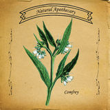 Natural Apothecary Comfrey Plant Stock Photos