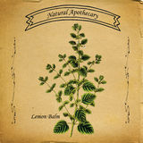 Natural Apothecary Lemon Balm Melissa. Medicinal herbs were originally available in an apothecary. Today we use them in our own home apothecary or purchase them Stock Photo