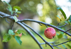 Natural apple on a branch Stock Photo