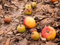 Natural apples. Larger, organic (locally cultivated) apples in red and yellow with smaller wild apples Royalty Free Stock Images