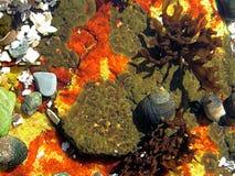 Natural aquarium. A little glimpse of underwater sea life in Acadia Maine stock image