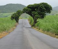 Natural Arch. Road through Natural arch of two mango trees Royalty Free Stock Image