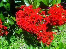 A natural arrangement of more red flowers. Arrangement of red flowers in it´s natural form sorrunded by another flowers Stock Photos