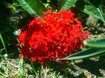 A natural arrangement of red flowers. Arrangement of red flowers in it´s natural form sorrunded by another plants Stock Images