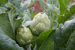 Natural artichokes. In the plant Stock Photography