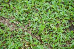 Natural asian green grass closeup in the morning stock photo