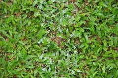 Natural asian green grass closeup in the morning royalty free stock photo