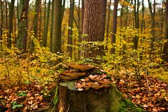 Natural autumn forest with tree trunk covered with honeydew mushroom. No filters Stock Photography