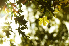 Natural autumn green and yellow maple leaves and sunshine Stock Photo