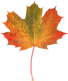 Natural autumn maple leaf on white Royalty Free Stock Images