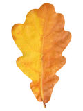 Natural autumn oak leaf on white Stock Photos