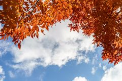 Natural autumn orange leaves and blue cloudy sky. Natural autumn orange leaves and blue cloudy sky Stock Photo