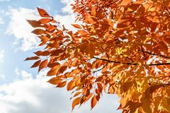 Natural autumn orange leaves and blue cloudy sky. Natural autumn orange leaves and blue cloudy sky Royalty Free Stock Images