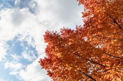 Natural autumn orange leaves and blue cloudy sky. Natural autumn orange leaves and blue cloudy sky Royalty Free Stock Photos