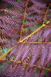 Natural autumn pattern of purple fern Royalty Free Stock Photography