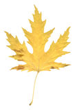 Natural autumn poplar leaf on white Royalty Free Stock Photography